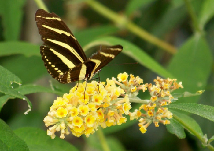 Black and yellow butterfly meaning - Akshreet