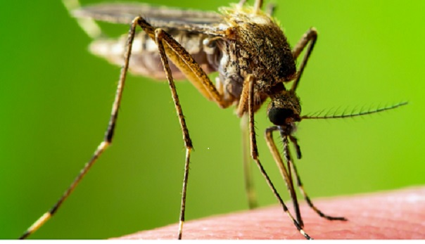 How to Kill the Mosquito